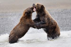 Coastal Brown Bears Fighting